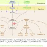 Vie metaboliche per la sintesi delle varie frazioni lipidiche